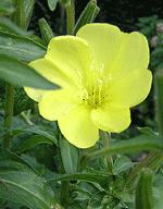Floarea Luminita de soare sau Luminita Noptii - Floarea ce infloreste doar noaptea - benefica pentru frumusetea ta